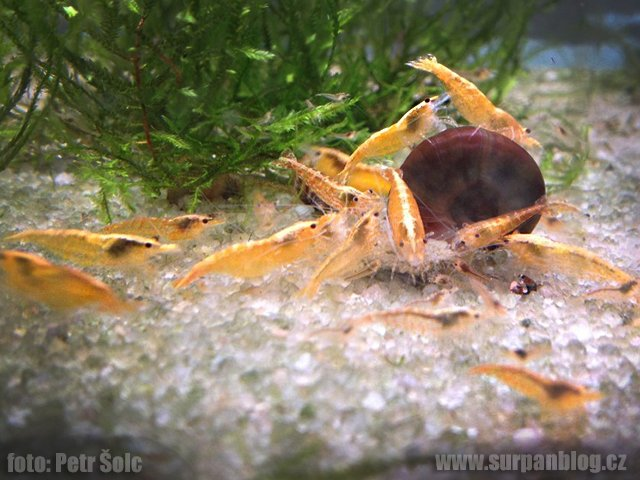 Neocaridina Orange sunskit.jpg
